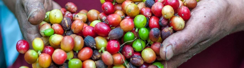 Jurang Fairtrade Coffee title image